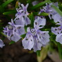 Rosemary Flowers (Rosmarinus officinalis (Rosemary))
