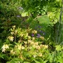 Azalea with Geranium Mayflower behind (Rhododendron luteum (Common Yellow Azalea))