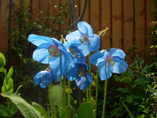 Family of blue poppies in the sunshine (Meconopsis betonicifolia (Himalayan blue poppy))