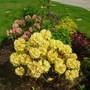 Rhododendron Nancy Evans