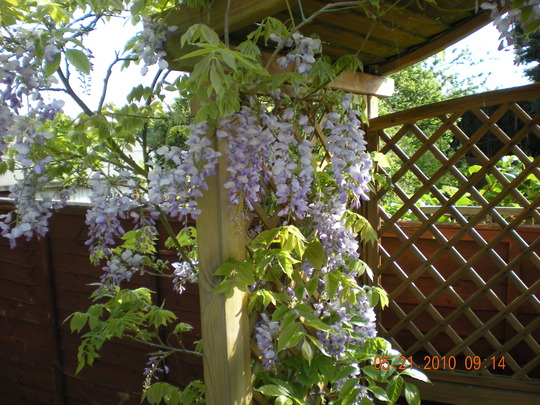 wysteria on the arbour