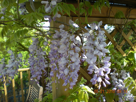 Wysteria blooms!!!!!!!!!!!