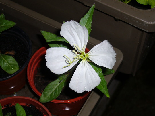 white Onethera (Oenothera odorata (Fragrant Evening Primrose))