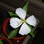 white Onethera (Oenothera odorata (Fragrant Evening Primrose))