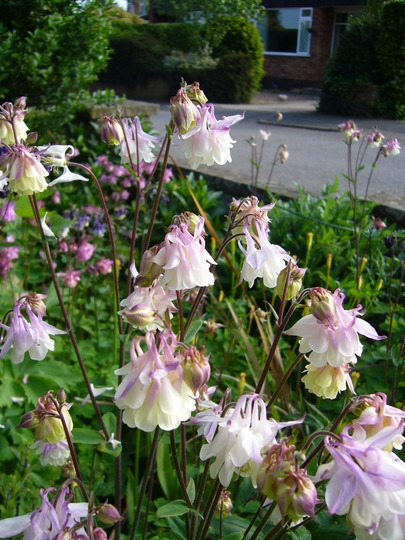 pale pink frilly dresses (Aquilegia sp)