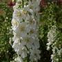 Verbascum (Verbascum blattaria)