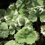 Glechoma hederacea (Glechoma hederacea (Alehoof))