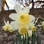 Narcissus Lemon Drops