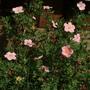 Potentillia Lovely Pink (Potentilla fruticosa)