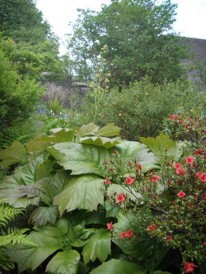 Rheum (Rodgersia podophylla (Rodgersia))