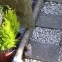 new plants (cupressus)