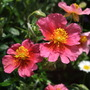 Helianthemum 'Jubilee' (Helianthemum)