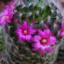 Mammillaria_lauii_dasyacantha