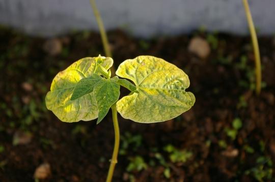A garden flower photo (Phaseolus vulgaris (Climbing French bean))