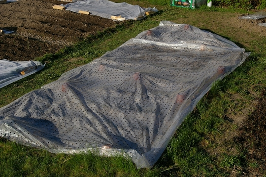 Sweetcorn is under there - hopefully it will germinate (Zea mays (Sweetcorn))