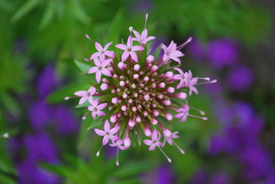 Phuopsis stylosa. (Phuopsis stylosa)