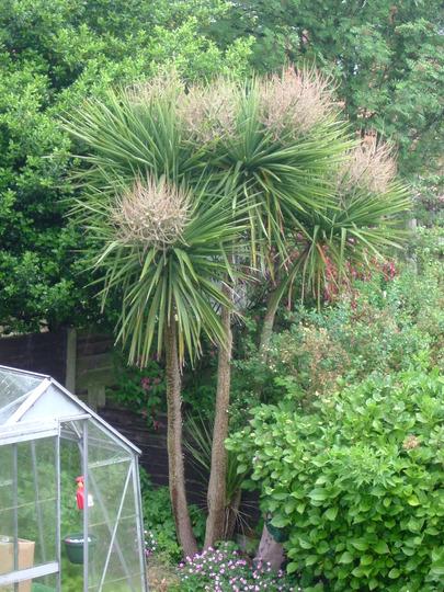 A garden flower photo (Cordyline australis (New Zealand cabbage palm))