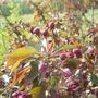 Siberian Crabapple Buds
