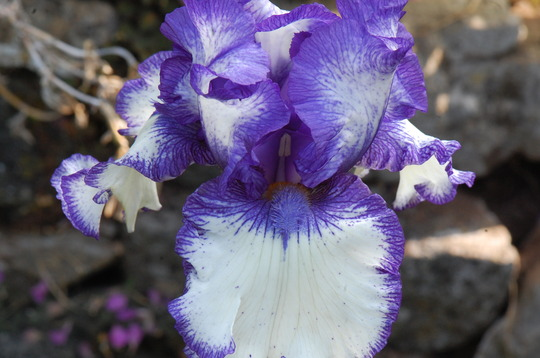 Iris germanica 'Orinoco Flow'