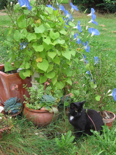 cat Mira near Ipomoea