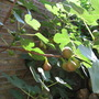 ripe figs (Ficus carica (Fig))
