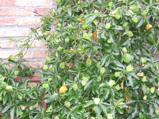 passion fruits in September 2007 (Passiflora aurantia (Orange Passion Flower))