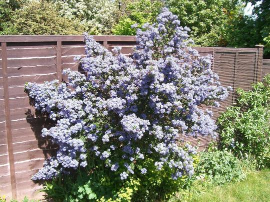 ceanothus 39 puget blue 39 grows on you. Black Bedroom Furniture Sets. Home Design Ideas