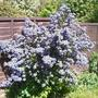 Ceanothus_puget_blue_may_2010_copy