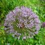 Allium_aflatunense