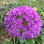 Allium_purple_sensation_