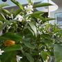 scent of mandarin blossom fills the conservatory (Citrus reticulata (Chen Pi))