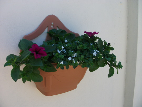 Petunias and Bacopa