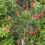 Crinodendron_hookerianum_001