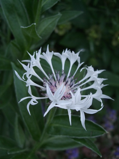 Centaurea montana 'Alba' (Centaurea montana (Berg Centaurie) 'Alba')