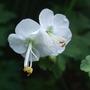 Geranium macrorrhizum 'White Ness' (Geranium macrorrhizum (Cranesbill))