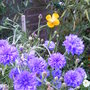 Blue_cornflowers