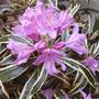Rhododendron 'Ponticum Variegatum' (Rhododendron 'Ponticum Variegatum')