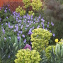 Blue & Yellow (Euphorbia characias subsp. wulfenei)