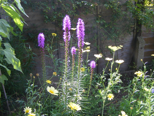 Liatris and Jamaican primrose