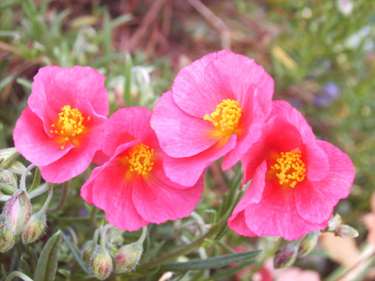Helianthemum 'Dr Philips' (Helianthemum 'Dr Philips')