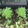 slugs loved the Chinese cabbage (Brassica rapa (Mizuna greens))