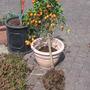 Nieuwe_pot_eerder_breed_dan_hoog_vr_kumquat_050507