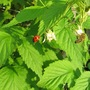 Raspberries (Rubus idaeus (Summer fruiting raspberry))