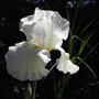 Bearded iris 4 - 2010 (Iris (bearded))