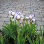 Mini iris in cattle trough