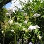 Aquilegia_vulgaris_v.stellata7