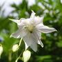 Aquilegia_vulgaris_v.stellata8