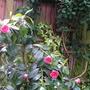 Unknown_camellia