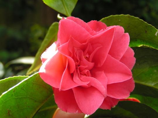 camellia unnamed (camelia)