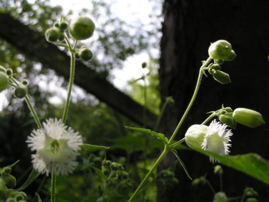 Silene fimbriata (Silene fimbriata)